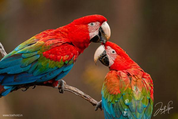 macaws love