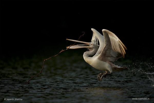 pelican blackbg 1