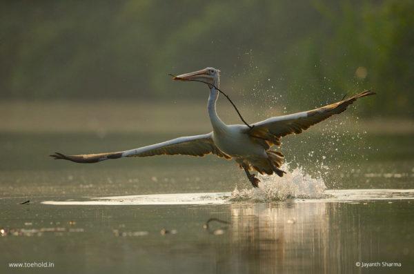 pelican takeoff 1