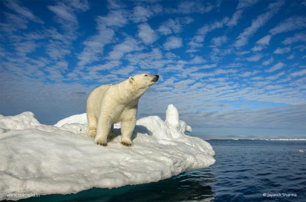 WL1001 - Polar Bear, Svalbard