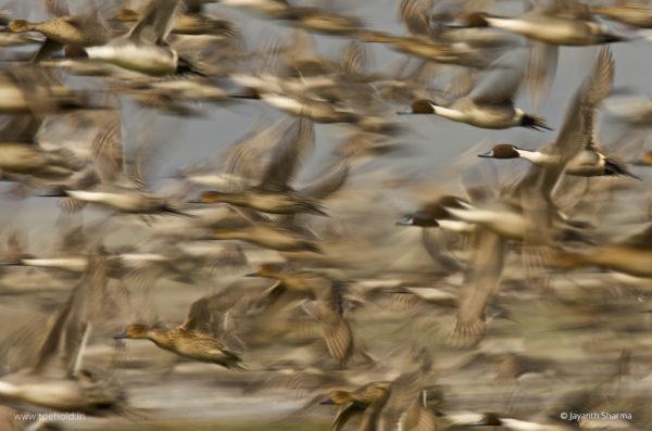 Pintail Flock Web