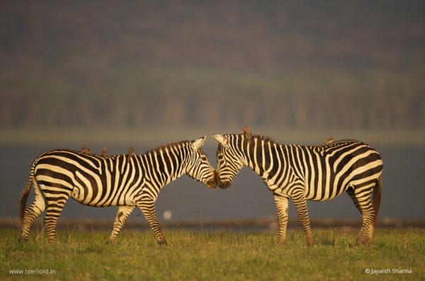 Zebras Africa Web