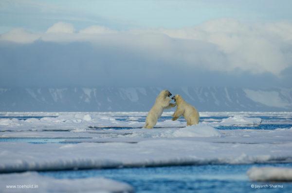 polar bear play fight