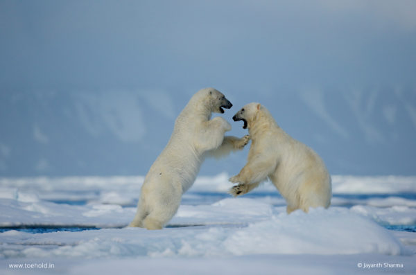 polar bear play fight close up
