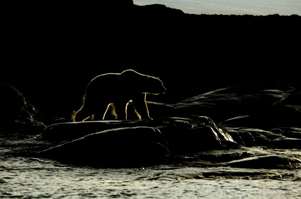Polar bear Silhouette Backlight