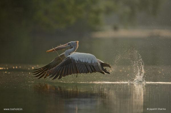 Pelican Takeoff Ranganthittu