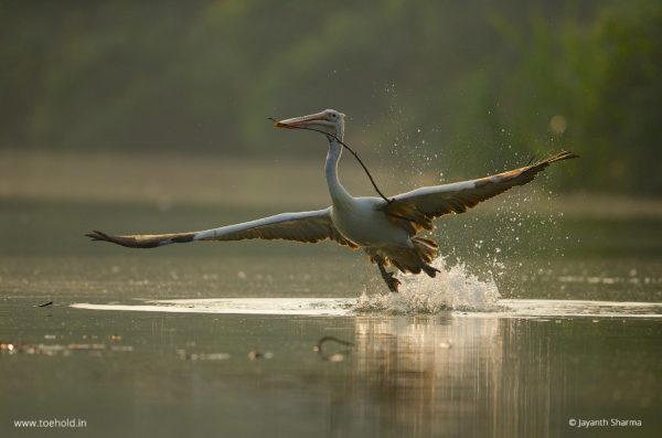 Pelican Flight Ranganathittu