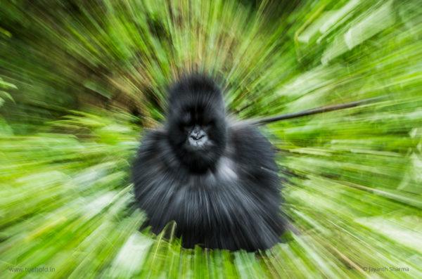 mountain gorilla web