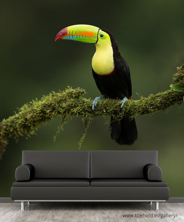 keel billed toucan wallpaper