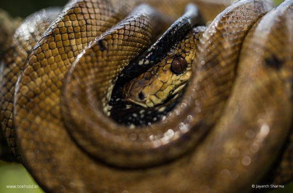 boa constrictor snake web