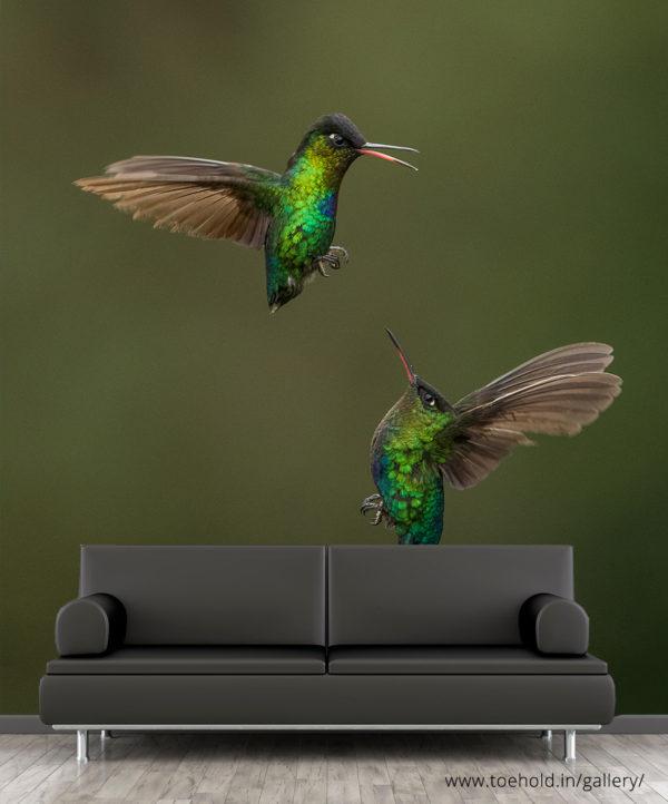 fiery throated hummingbird wallpaper