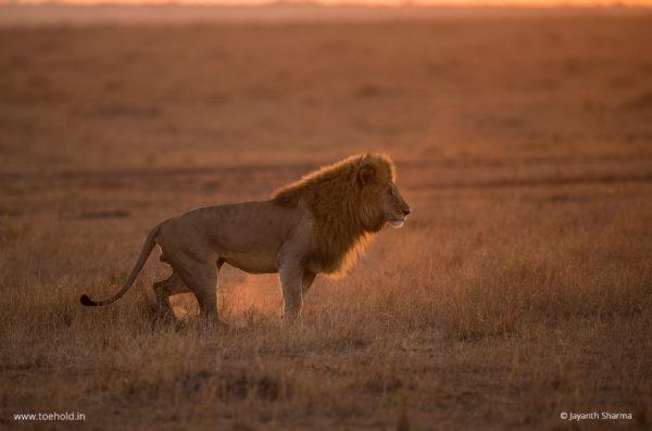 Lion Back Light