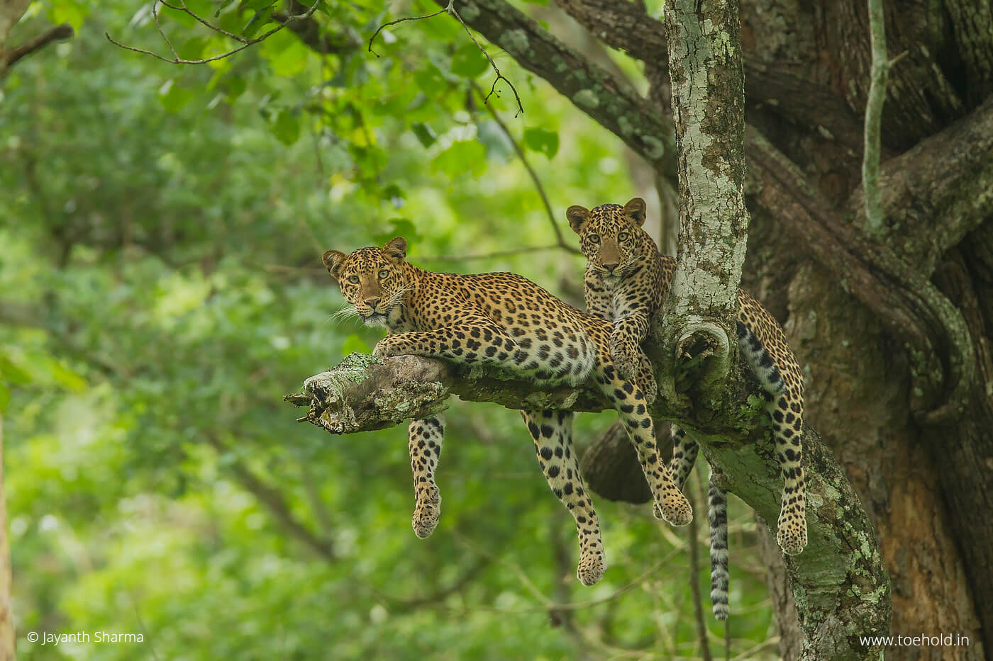 Leopard and cub kabini 2021