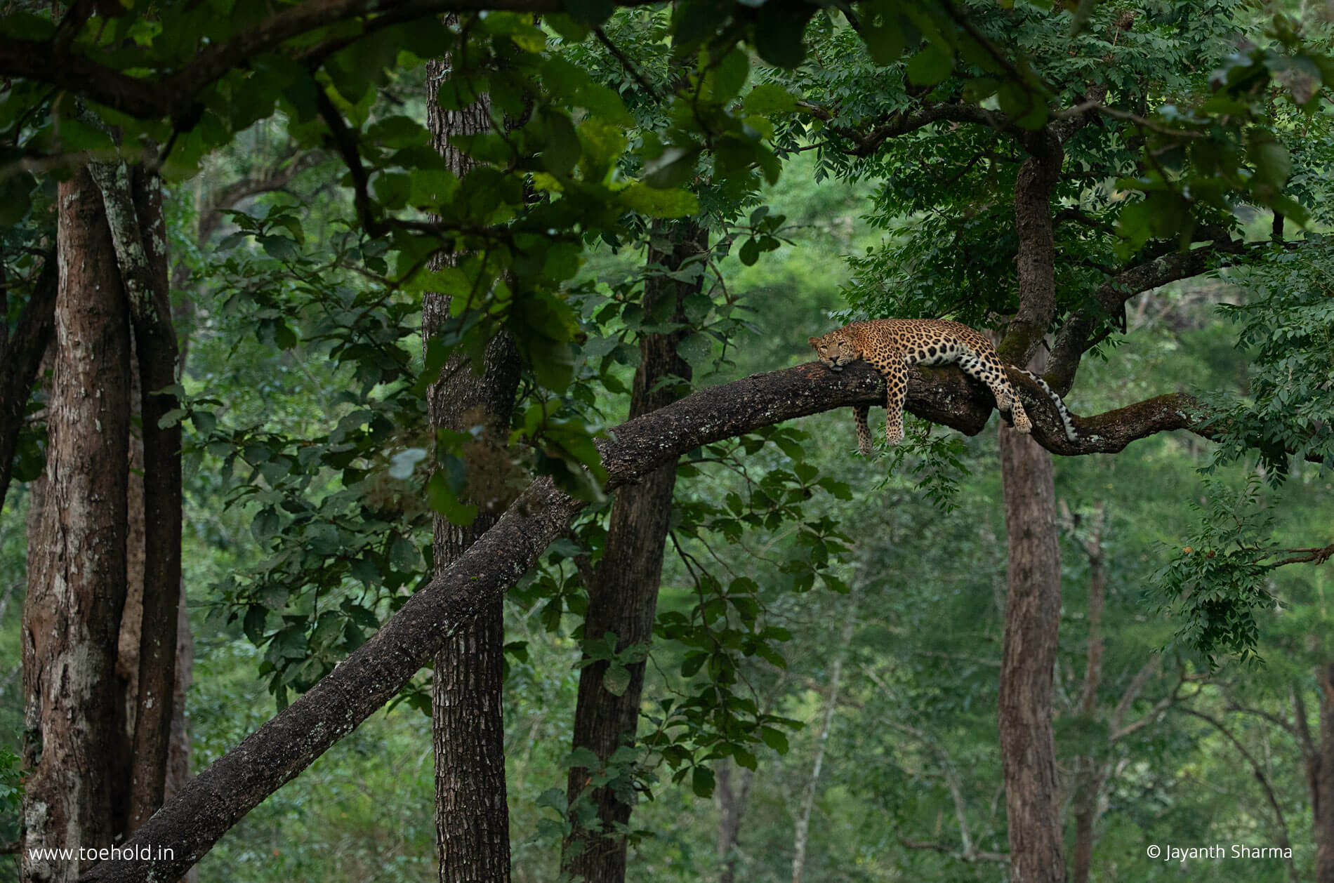 leopard on tree 2021