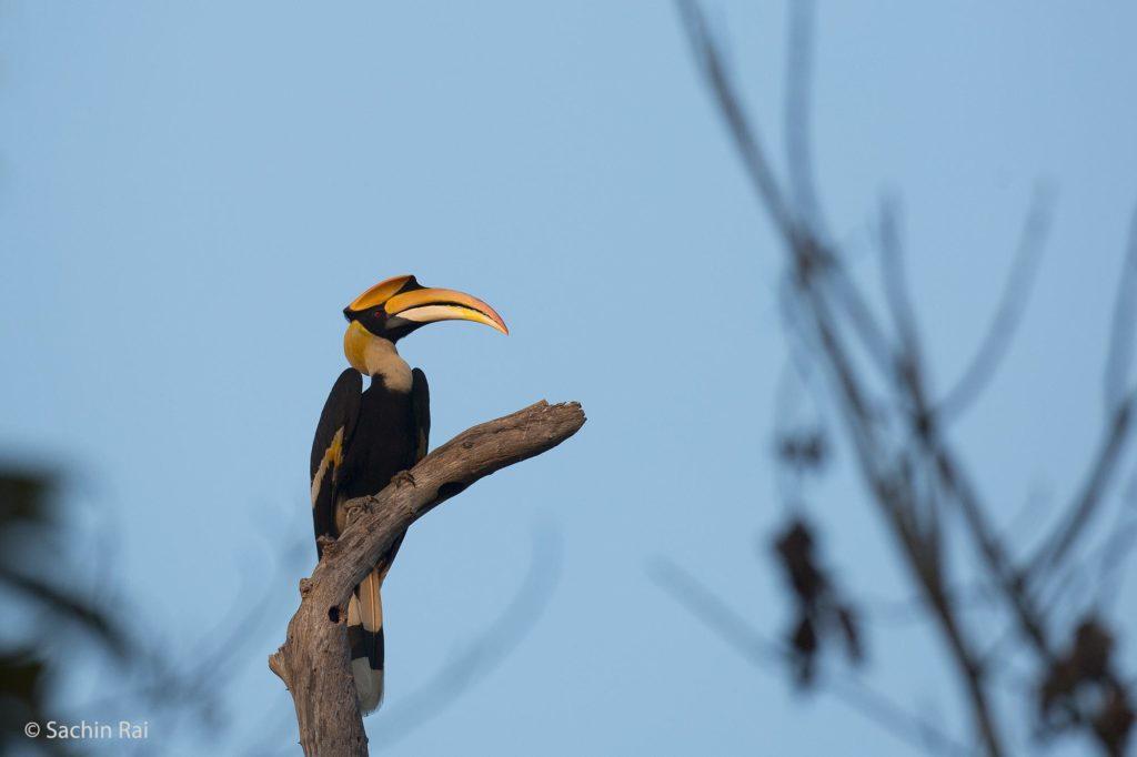 Great-Hornbill,-by-Sachin-Rai