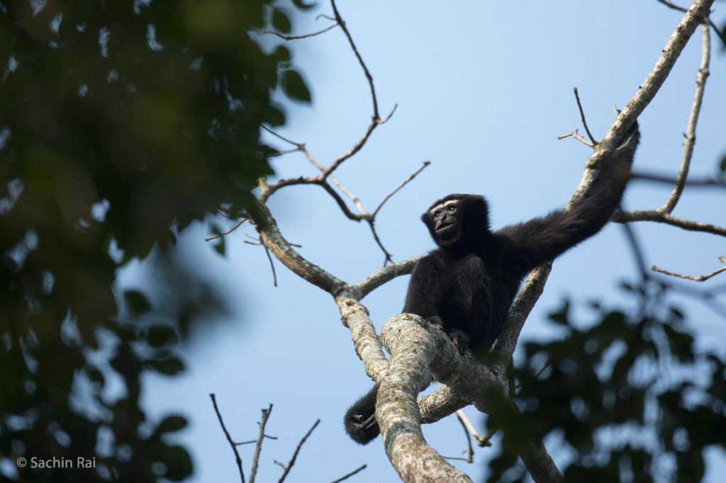 Hoolock-Gibbon,-by-Sachin-Rai