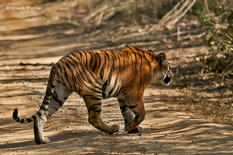 Tigress Crossing