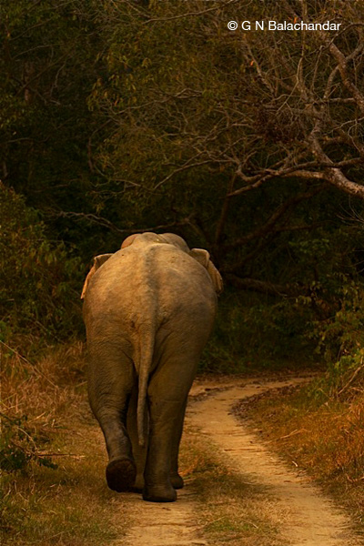 Tusker Walking Away