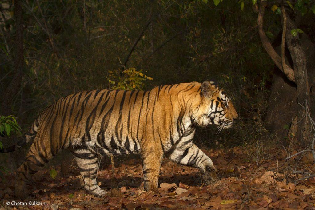 Bamera-Male,-Bandhavgarh,-by-Chetan-Kulkarni