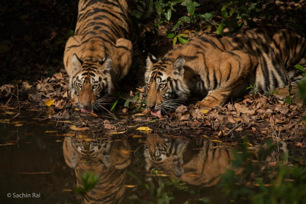 Banbehi-Cubs-at-Kinarwah,-by-Sachin-Rai