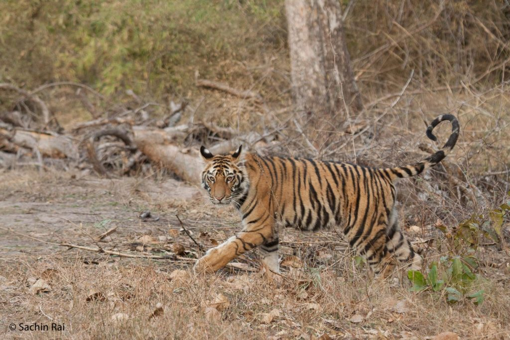 Banbehi-Female-Cub,-by-Sachin-Rai