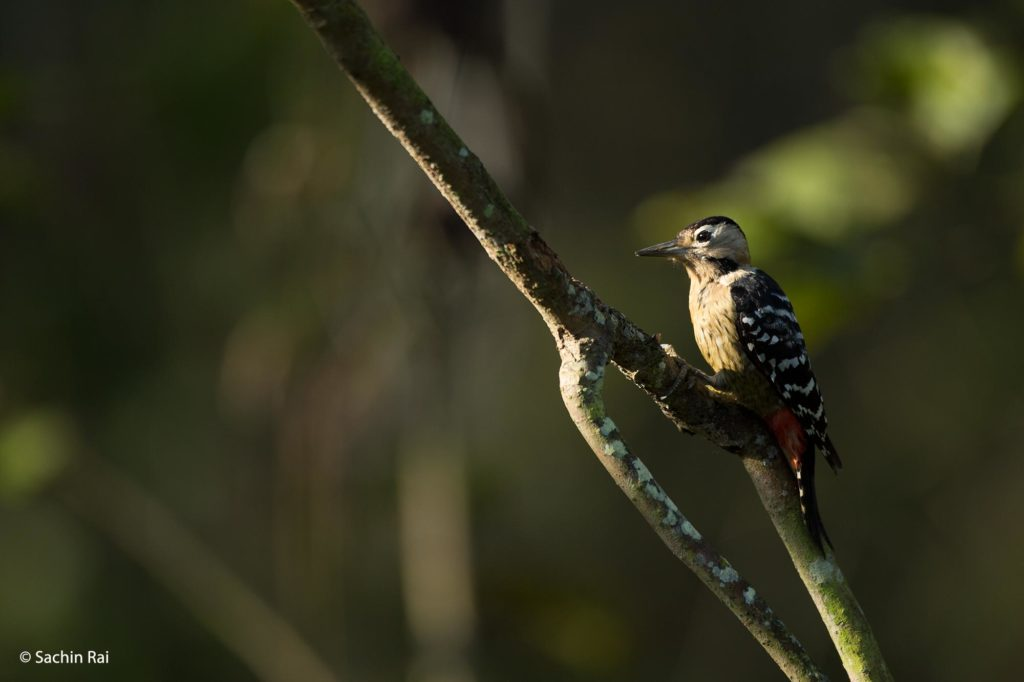 Fulvous-breasted-Woodpecker