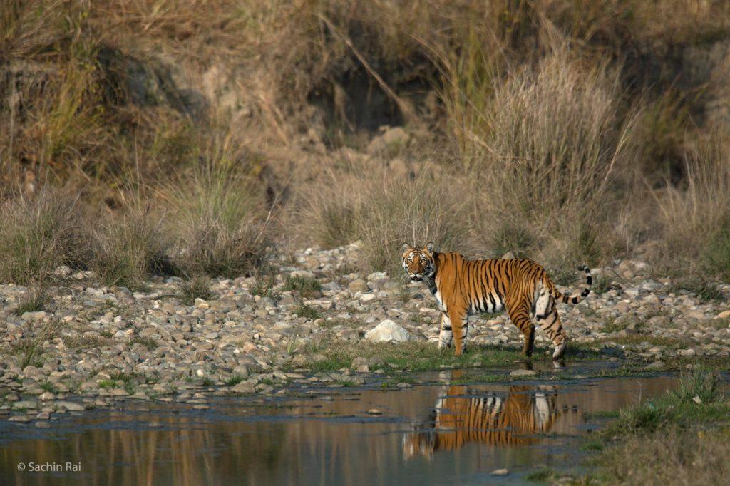 Tiger-Corbett-2,-by-Sachin-Rai