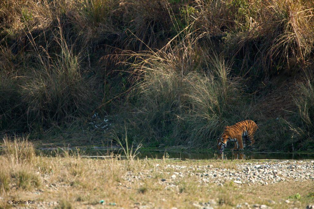 Tiger-Drinking,-by-Sachin-Rai