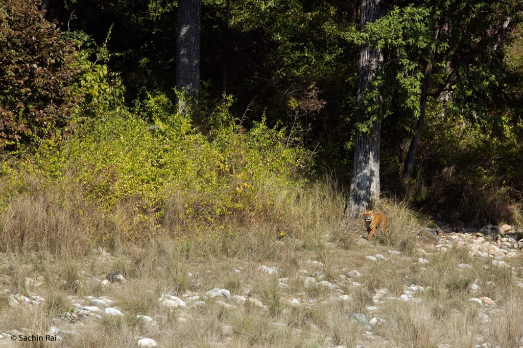 Tiger-by-Edge-of-Forest,-by-Santosh-Saligram