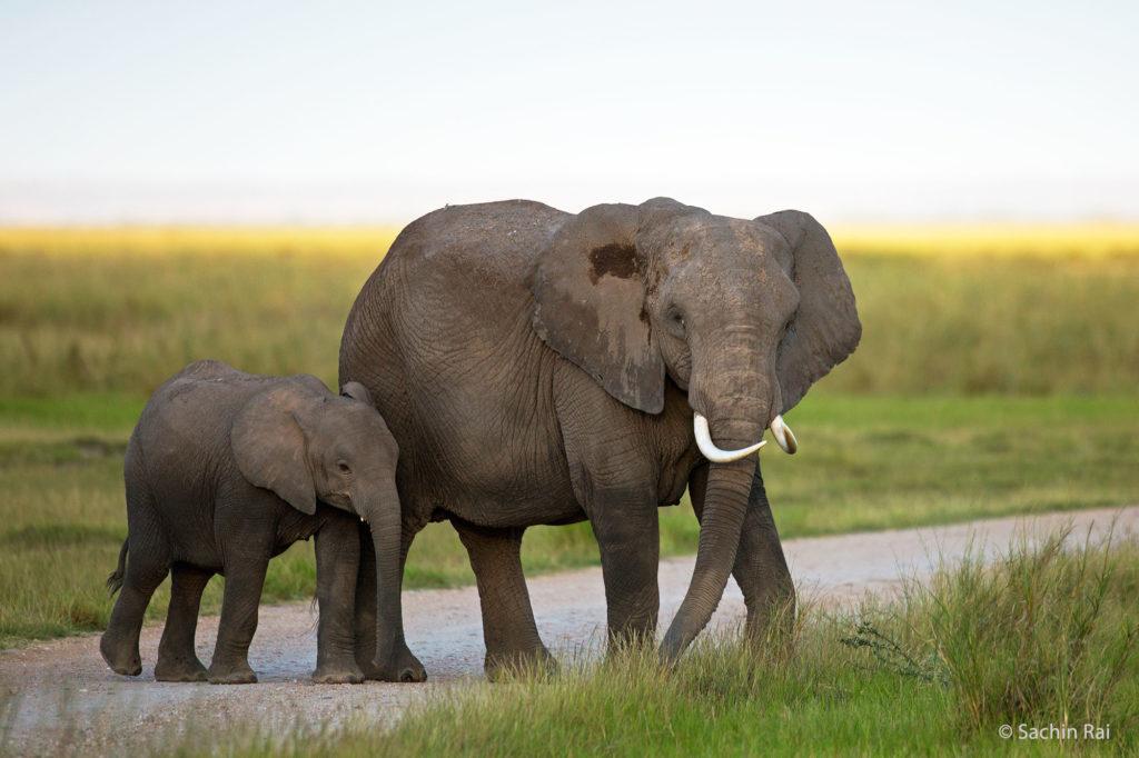 Elephant and Calf, Amboseli