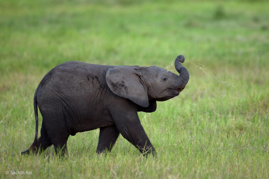 Elephant Calf, Amboseli