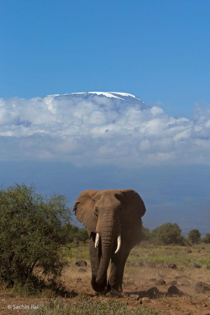 Elephant and Kilimanjaro, Amboseli