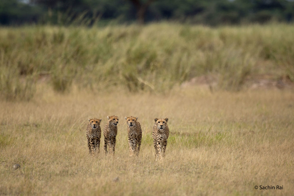 Cheetahs, Amboseli
