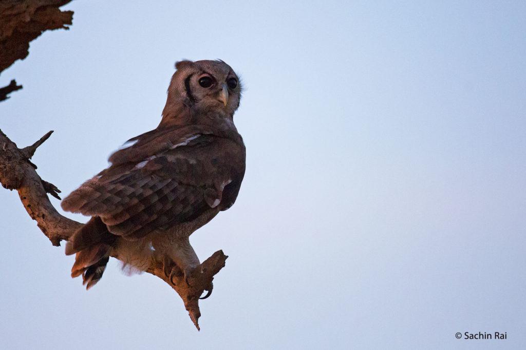 Verraux's Eagle Owl, Amboseli