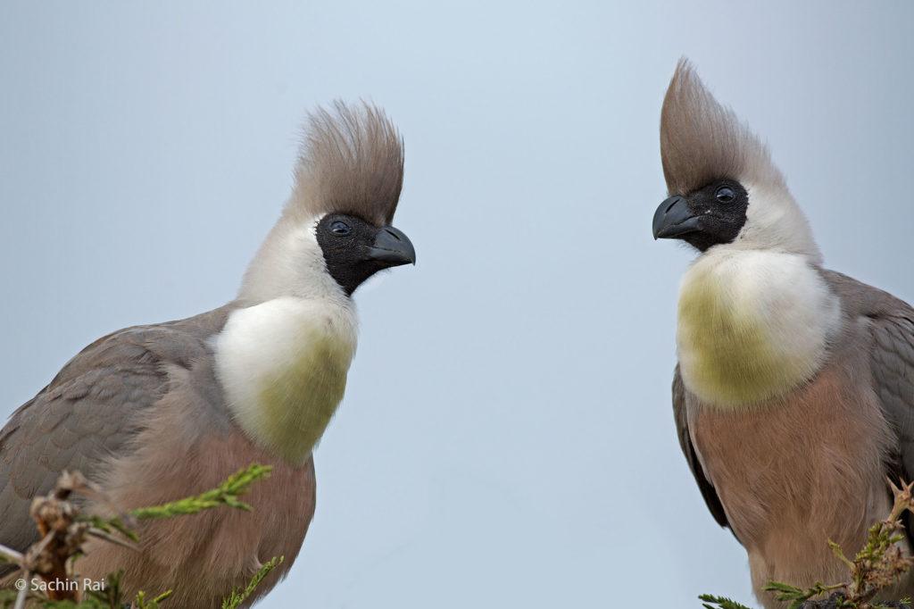 Goaway Bird, Masai Mara