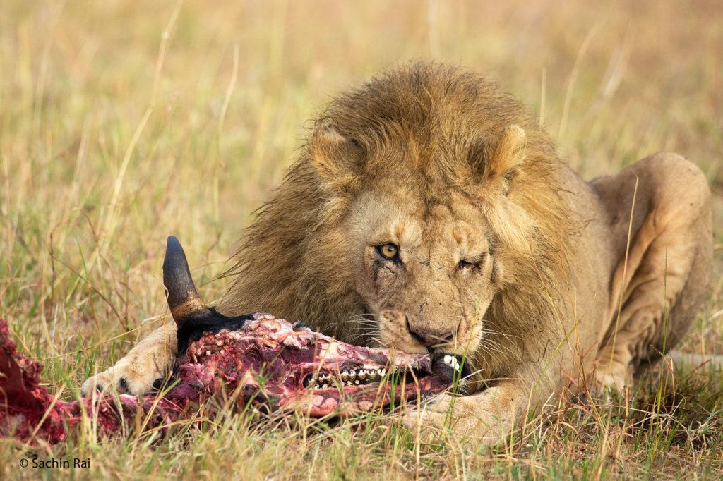 Lion with Kill, Masai Mara