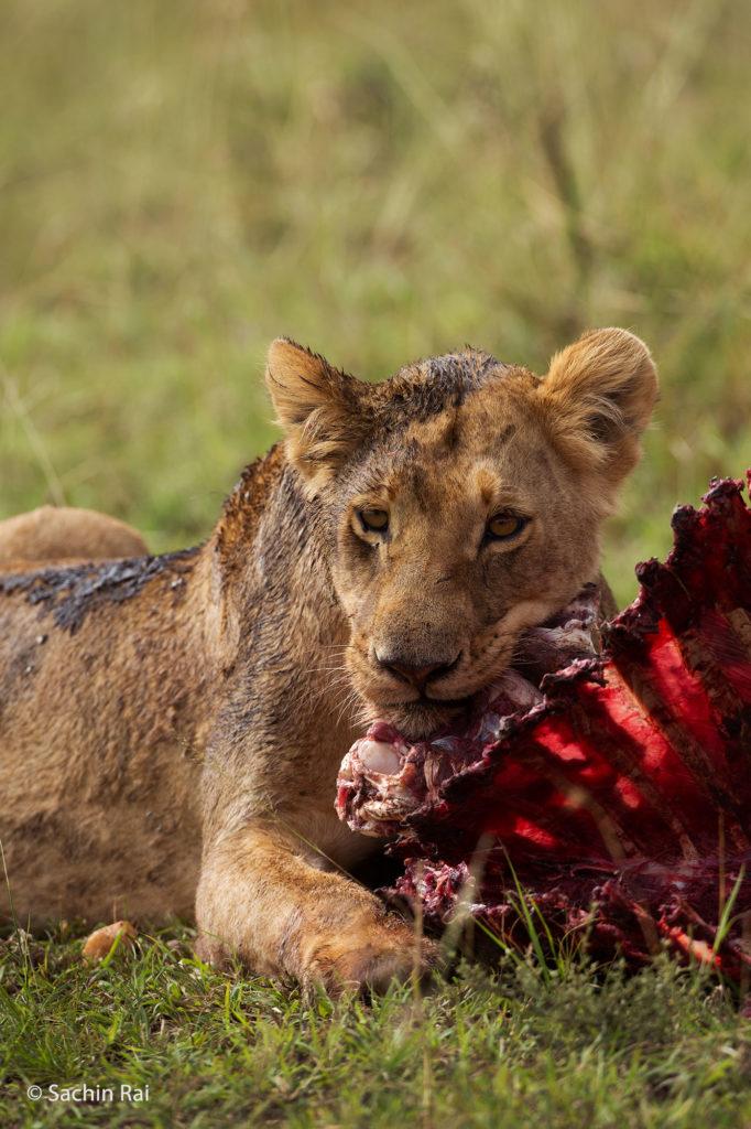 Lion with Carcass, Masai Mara