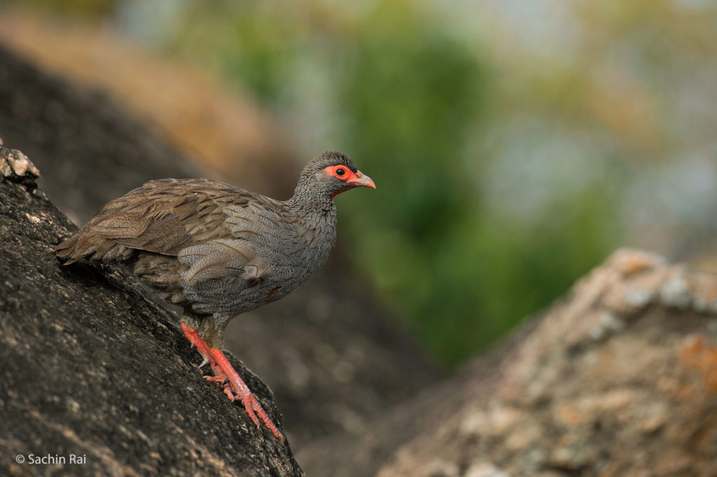 Red-throated Spurfowl, Masai Mara