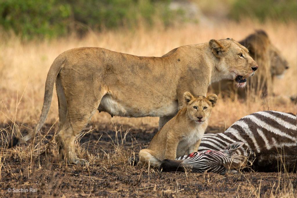 Lions and Cub on Zebra Kill, Masai Mara