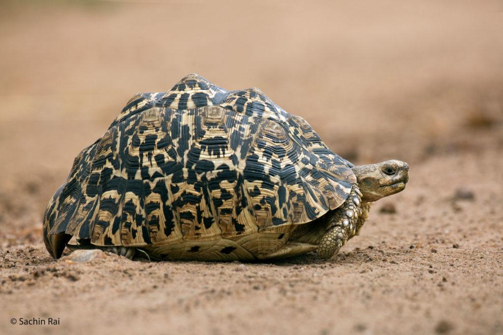 Leopard Tortoise, Masai Mara