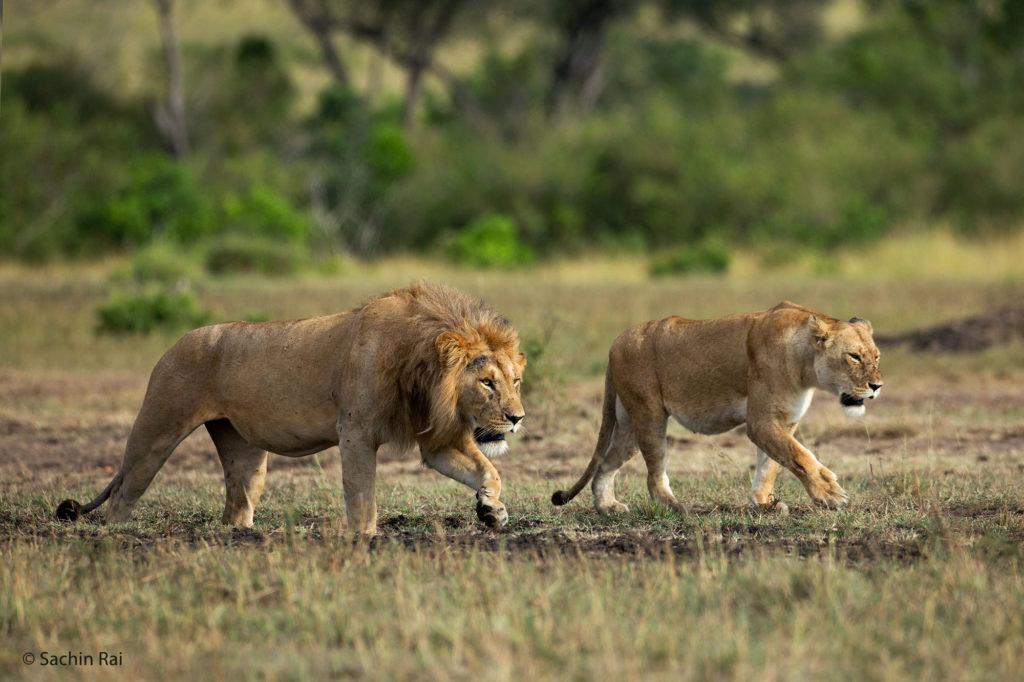 Male and Female Lions, Masai Mara