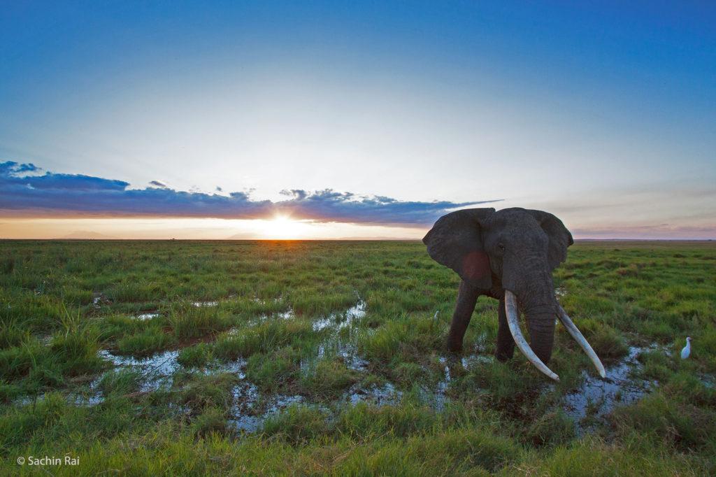Elephant in Marsh, Amboseli