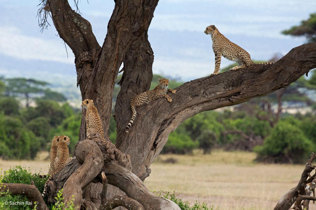 Cheetahs in a Tree, Amboseli