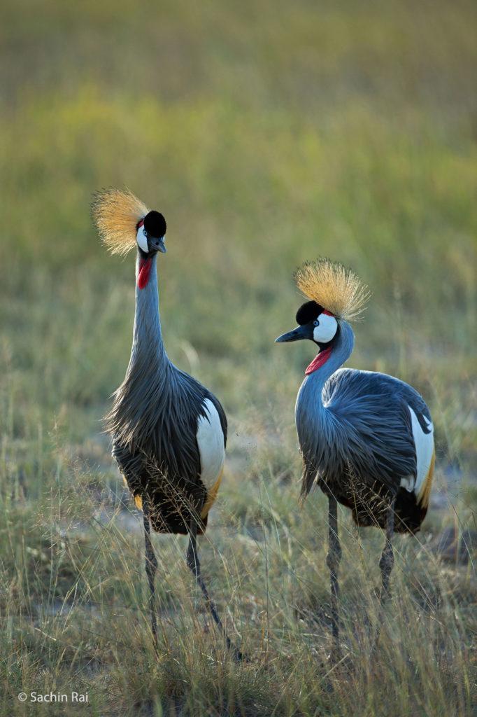 Grey Crowned Crane, Amboseli