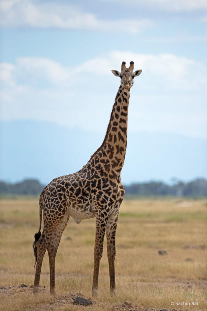 Giraffe, Amboseli