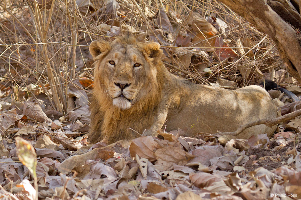 Male Lions on Dry Leaves