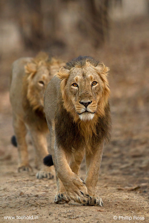 Two Male Lions Head On