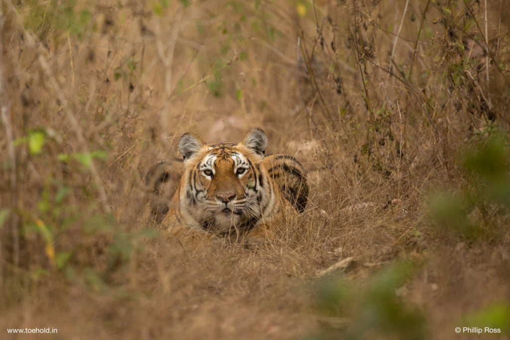 Tiger Close-up