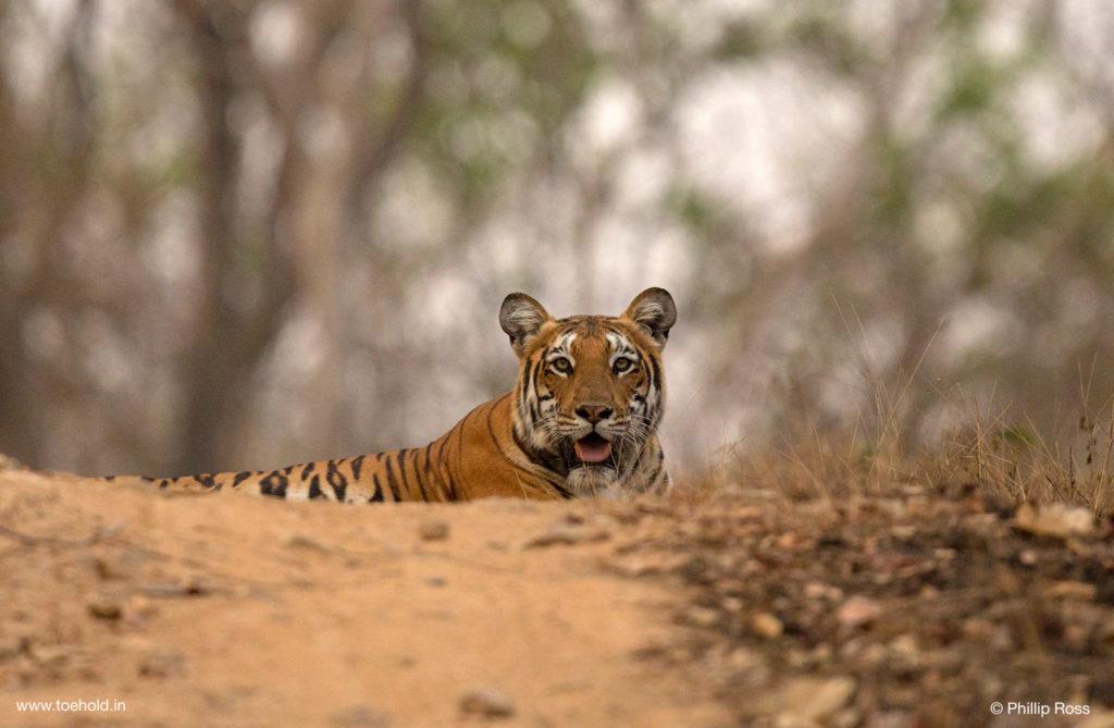 Tiger on Vehicle Track