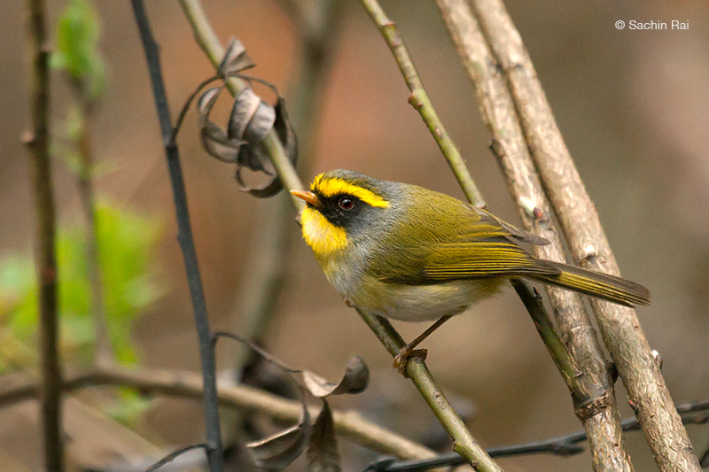Black-faced Warbler